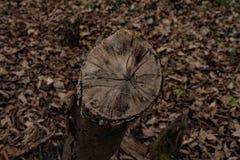 Tronçon d'arbre coupé de charme dans la forêt sauvage dans la forêt tôt de ressort photos stock