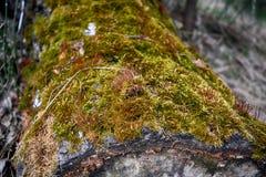 Tronçon d'arbre couvert de la mousse verte Photo libre de droits