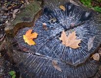 Tronçon d'arbre dans l'automne Photographie stock libre de droits