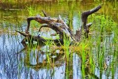 Tronçon d'arbre dans un étang peu profond photo stock