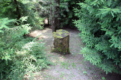 Tronçon d'arbre dans une forêt d'arbre de sapin Image libre de droits