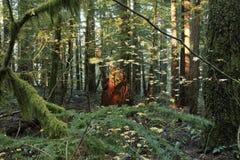 Tronçon d'arbre dans une forêt de vieil accroissement Photos stock