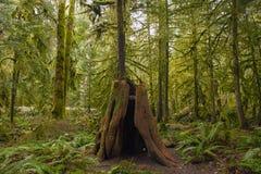Tronçon d'arbre moussu dans la forêt tropicale de peuplement vieux en île de Vancouver, Canada photographie stock libre de droits