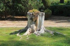 tronçon d'arbre Nu-enraciné dans l'herbe photos stock