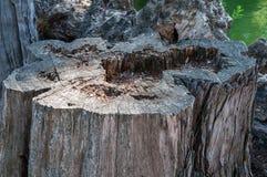 Tronçon d'un arbre de coupure Photos stock