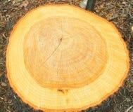 Tronçon d'un arbre fraîchement réduit Photos libres de droits