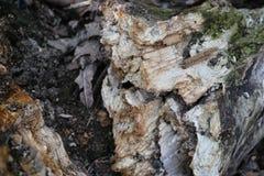 Tronçon dans la forêt Image libre de droits