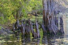 Tronçons d'arbre de Cypress photo libre de droits