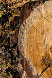 Tronçons dans la forêt Photographie stock