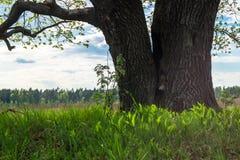 Tronc énorme du chêne antique avec la cavité profonde Horizontal de source Photo stock