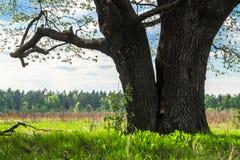 Tronc énorme du chêne antique avec la cavité profonde Horizontal de source Photos libres de droits