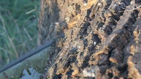 Tronc épais de coupe de tronçonneuse d'une fin d'arbre vers le haut de vue banque de vidéos