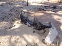 Tronc brûlé de genévrier - lendemain du feu sauvage 3 photos stock