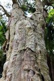 Tronc d'arbre épineux-leaved de paperbark et de x28 ; tree& x29 de thé ; en parc Image stock