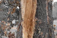 Tronc d'arbre avec des couleurs uniques des feuilles Image stock