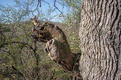 Tronc d'arbre avec la branche sinueuse avec plusieurs cavités image libre de droits
