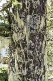 Tronc d'arbre couvert d'usines de lichen et d'air Images libres de droits