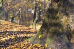 Tronc d'arbre dans le Central Park de Kaliningrad en automne images libres de droits