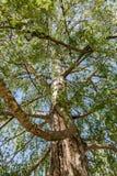 Tronc d'arbre de bouleau Photos libres de droits