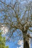 Tronc d'arbre de bouleau Image stock