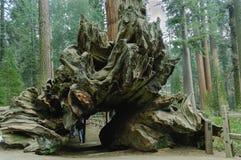 Tronc d'arbre de tunnel Photographie stock libre de droits