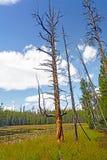 Tronc d'arbre distinctif par un étang de région sauvage Images libres de droits