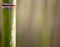 Tronc d'arbre en bambou Photo libre de droits