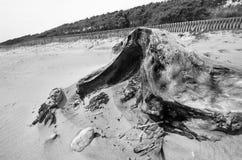 Tronc d'arbre en sable photos libres de droits