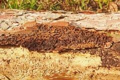 Tronc d'arbre impeccable, infecté par des scarabées d'écorce Image stock
