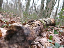 Tronc d'arbre mort en forêt Zdjęcia Stock