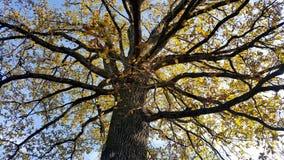 Tronc d'arbre puissant avec de grandes branches en automne images stock