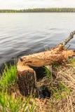 Tronc d'arbre rongé par le castor Image libre de droits