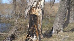 Tronc d'arbre sec brûlé banque de vidéos
