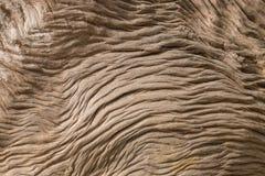 Tronc d'arbre superficiel par les agents de Pohutukawa Photos stock