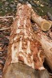 Tronc d'arbre sur le plancher avec l'écorce épluchée Photographie stock