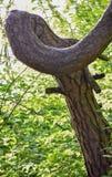 Tronc d'arbre tordu au parc local photographie stock libre de droits