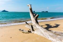 Tronc d'arbre tressé squelettique sur la plage noire de sable sur Langkawi photographie stock