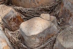 Tronc d'un palmier Photographie stock