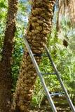 Tronc d'un palmier de date avec une échelle photos stock