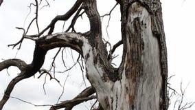 Tronc d'un vieil arbre sec Changements de nature Les arbres meurent, forêt disparaît Catastrophe écologique Pénurie de l'eau glob clips vidéos