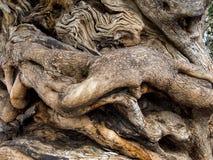 Tronc d'un vieil olivier image stock