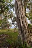 Tronc d'une figue d'étrangleur en parc Photos stock