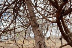 Tronc d'une plante grimpante Image libre de droits