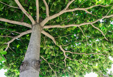 Tronc de branche d'arbre avec une fan, la vue de bas en haut Photographie stock