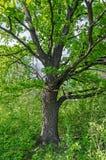 Tronc de chêne Photo libre de droits