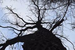 Tronc de chêne s'étendant dans le ciel images libres de droits
