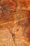 Tronc de Cypress Photo stock