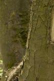 Tronc de grand plan rapproché d'arbre Image libre de droits