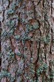 Tronc de pin couvert de la mousse Images stock