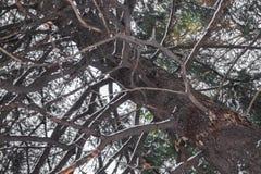Tronc et branches impeccables en hiver Photos libres de droits